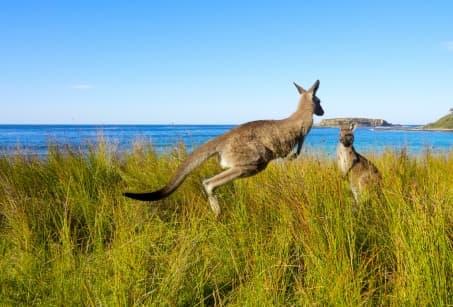 Dessine -moi un kangourou en Australie
