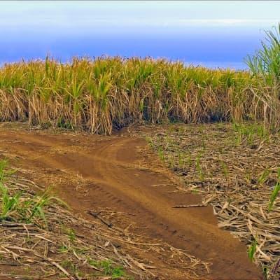 La route du sucre en jeep