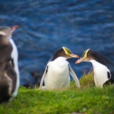 Observation des pingouins sur la péninsule d'Otago
