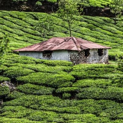 Visite d'une plantation de thé et de son usine + dégustation - Nuwara Eliya
