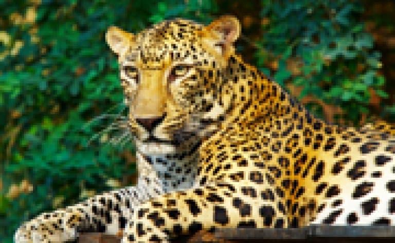 Wildt Cheetah – protection des guépards