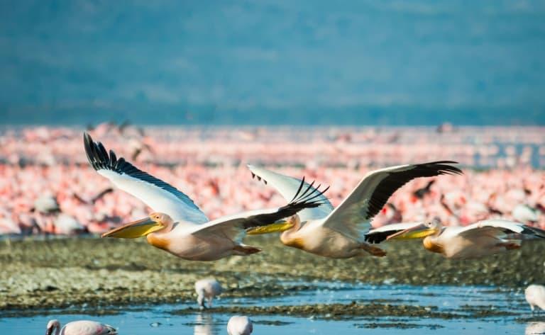 Arrivée au Kenya et rencontres avec les flamants roses du lac Nakuru