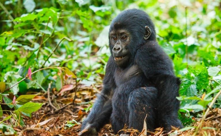 Deuxième visite aux gorilles