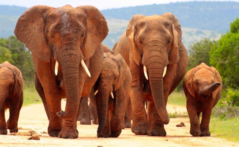 La vie des éléphants