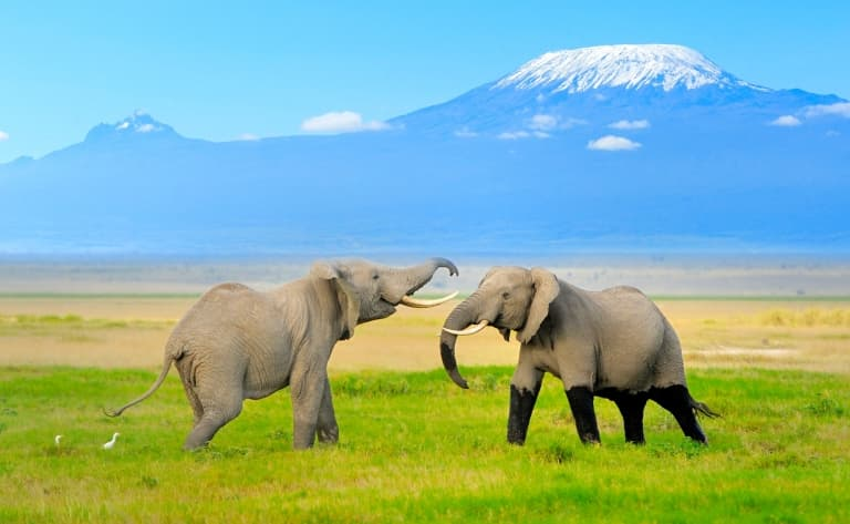 Troupeaux paissant devant le Kilimandjaro…