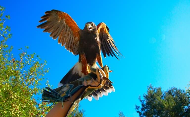 Dresseur de faucons au ranch