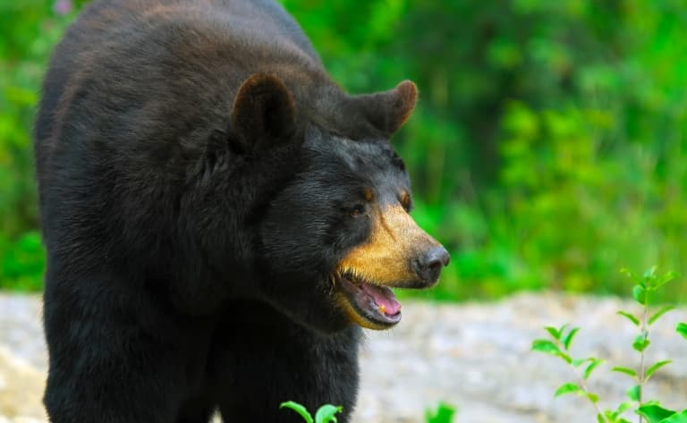 Observation de l'ours noir
