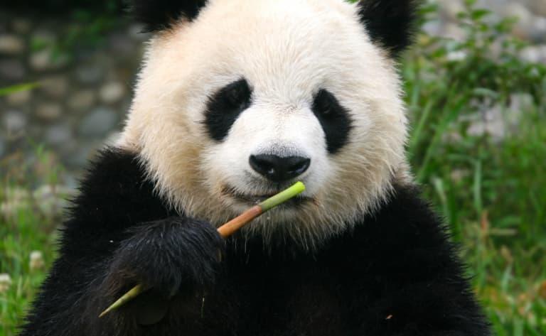 Centre de recherche du Panda Géant