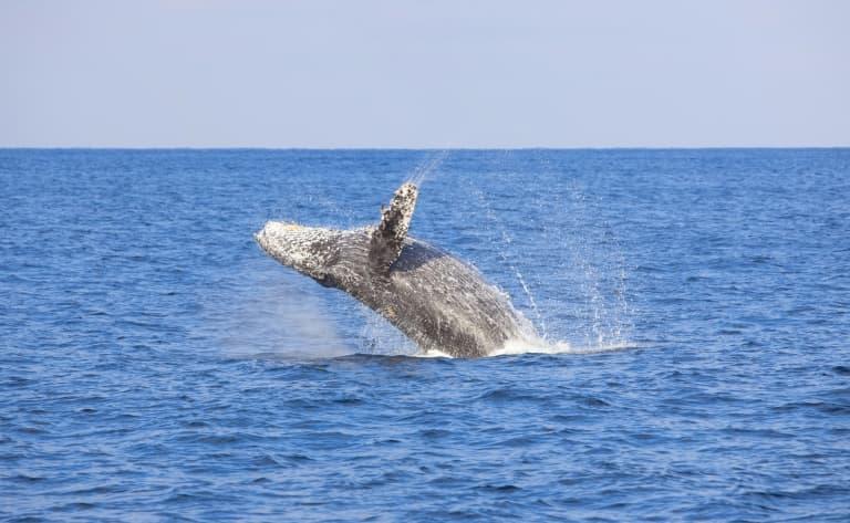 Observation de baleines (juillet à octobre)