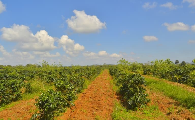 Visite des plantations de café
