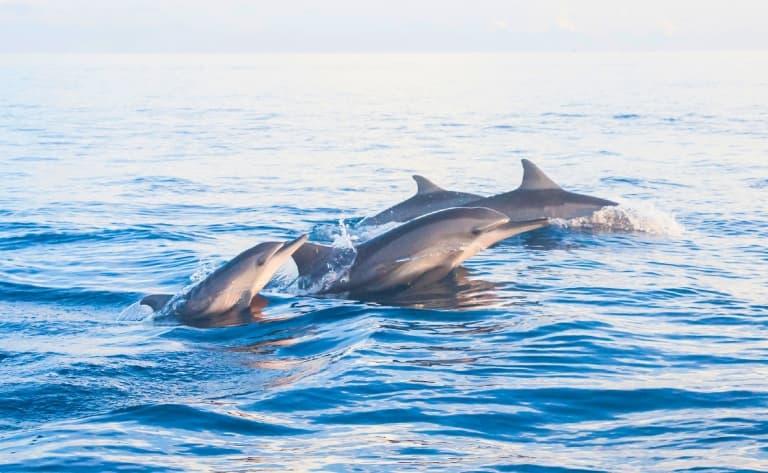 Les dauphins de Lovina