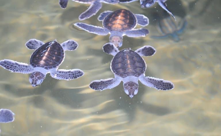 Elevage de tortues à Kosgoda