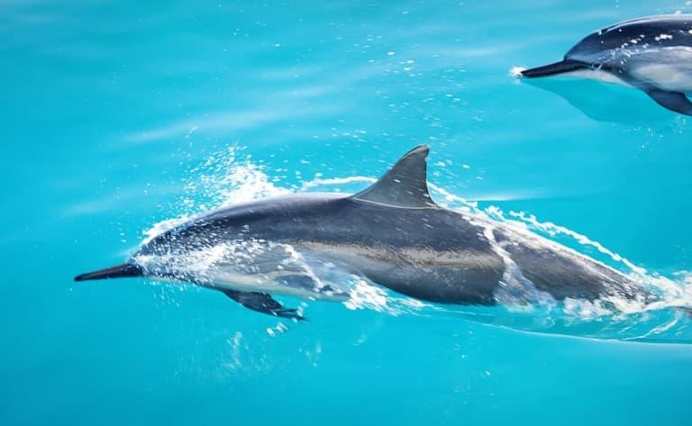 Les dauphins de la baie de Kealakekua Bay