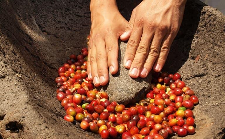 Plantations de café de Losari